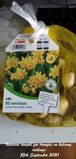 Narcissi bought for troughs on balcony railings 25th September 2020 (Daffodil)