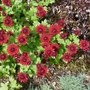 Chrysanthemum_ruby_mound_close_up_2020