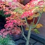 Acer dissectum palmatum at night.