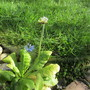 Primula denticulata Alba (Primula denticulata Alba (Drumstick primula))