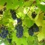 Grapes still awaiting the birds!