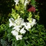 Antirrhinums still in bloom
