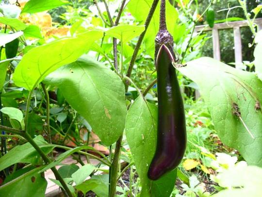 Asian Eggplant (Solanum melongena (Aubergine) Iciban)