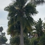 Ravenna rivularis - Majesty Palm (Ravenna rivularis - Majesty Palm)