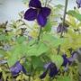 Clematis 'Etoille Violette'