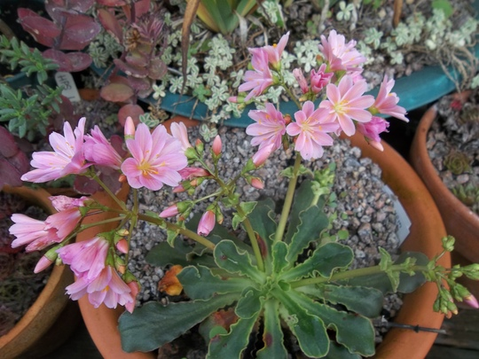 Pink Lewisia