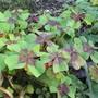 Oxalis tetraphylla Iron Cross (Oxalis tetraphylla (Good Luck Leaf))