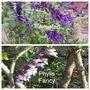 SALVIA Amistad & Phylis Fancy (For Thorney) (Salvia)