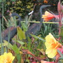 Oenothera self seeded cross (Oenothera)