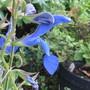 Salvia 'Cambridge Blue' (Salvia patens (Sage))