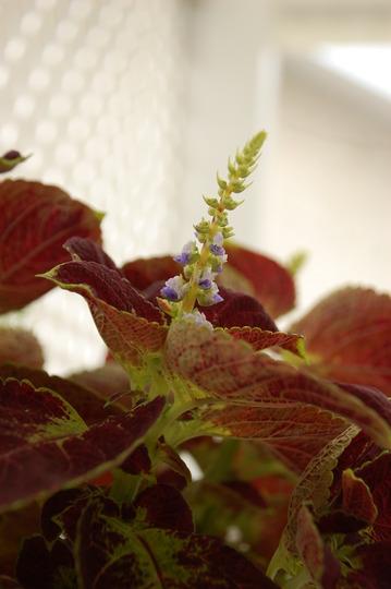 Coleus Bloom