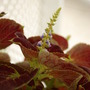 Coleus Bloom