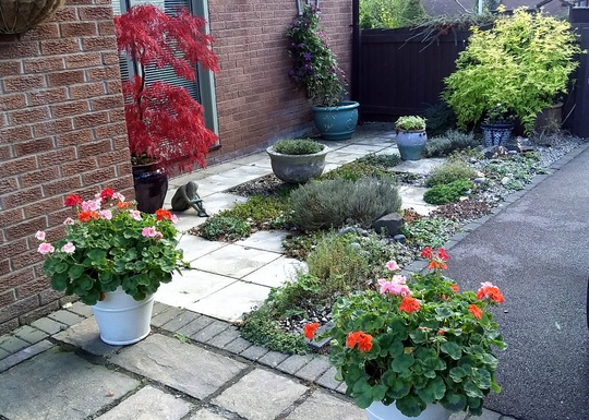 These Perlagoniums were planted last April...