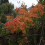 Acer Palmatum (Japanese Maple) (Acer palmatum (Japanese maple))