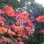 Leaves of Fern leaf Japanese maple in October.