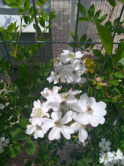 Another climbing roses
