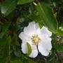 Wild Rose Schneewitchen