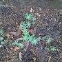 Lupinus (Lupinus perennis (Wild Perennial Lupin))