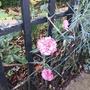 Border Carnation