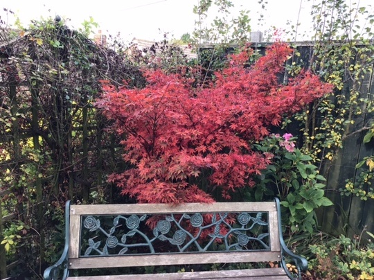 Acer looking fabulous.  (Acer palmatum (Japanese maple))