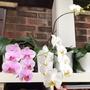 Phalaenopsis.  (Phalaenopsis)