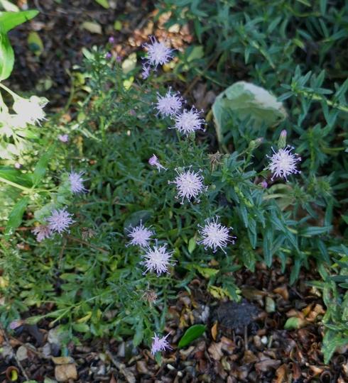 Centaurea simplicicaulis - 2020 (Centaurea simplicicaulis)