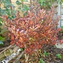 Coprosma repens 'Pacific Sunset' (Coprosma repens)