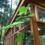 Brown turkey fig tree/ Ficus carica