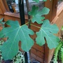 Close up - leaves of Ficus carica (Ficus carica)