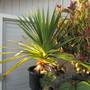 Pandanus adds tropical beach thoughts.. (Pandanus furcatus)