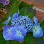 Blue flowering hydrangea, final bloom of the year..