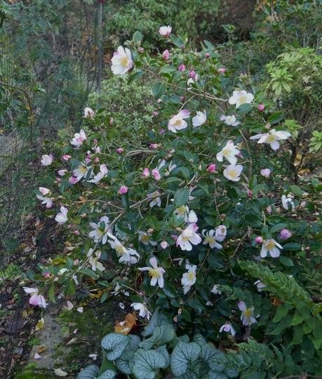 Camellia sasanqua 'Rainbow' - 2020 (Camellia sasanqua)