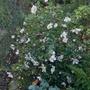 Camellia_sasanqua_rainbow_2020