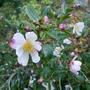 Camellia sasanqua 'Rainbow' (close-up) - 2020 (Camellia sasanqua)