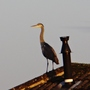 Heron on a neighbour's roof yesterday.
