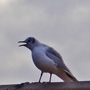 Seagull on our roof.