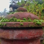 Moss maturing on the chiminea  (Moss)