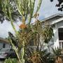 Tree Aloe in bloom. (Aloidendron tongaensis.)