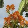 closeup (Aloidendron tongaensis)