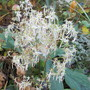 Saxifraga fortunei 'Wada' (Saxifraga fortunei)