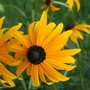 A garden flower photo (Rudbeckia fulgida)