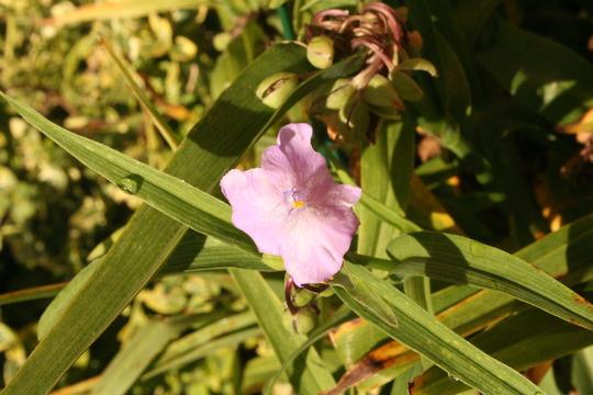 A garden flower photo (Tradescantia virginiana (Spiderwort))