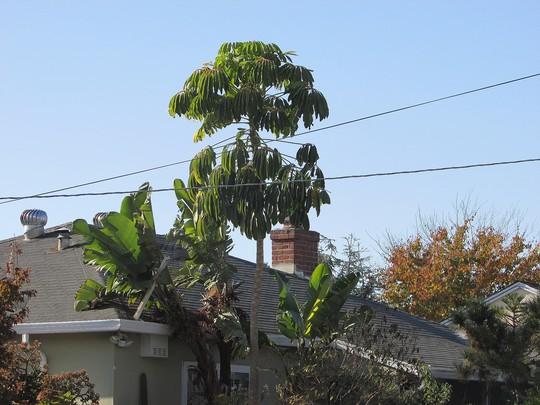 Schefflera that is sort of rare for the bay area. (Schefflera actinophylla (Australian Ivy-palm))