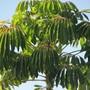 Sheffy nicely grown. (Schefflera actinophylla (Australian Ivy-palm))