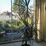 Happy Dragon Tree (Draceana Marginata)