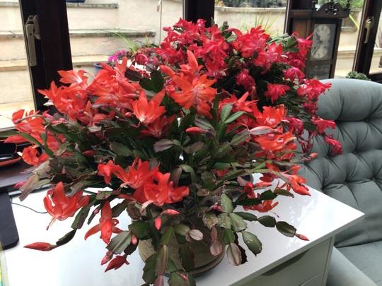 Red and orange cacti. (Schlumbergera)
