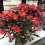 Red and orange cacti. (Schlumbergera)
