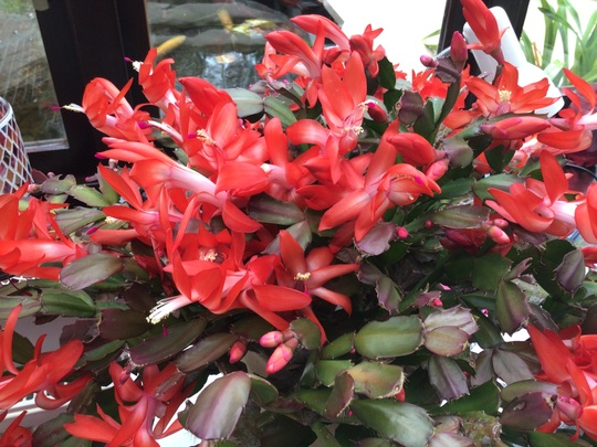 Christmas cacti (Orange) (Schlumbergera)