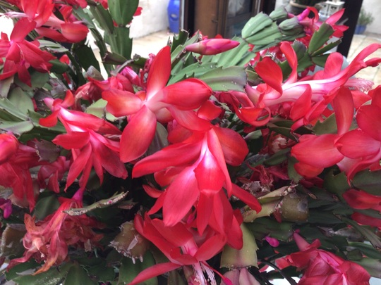 Christmas cacti (red) (Schlumbergera)