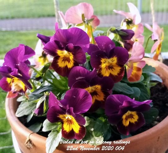 Violas in pot on balcony railings 22nd November 2020 004